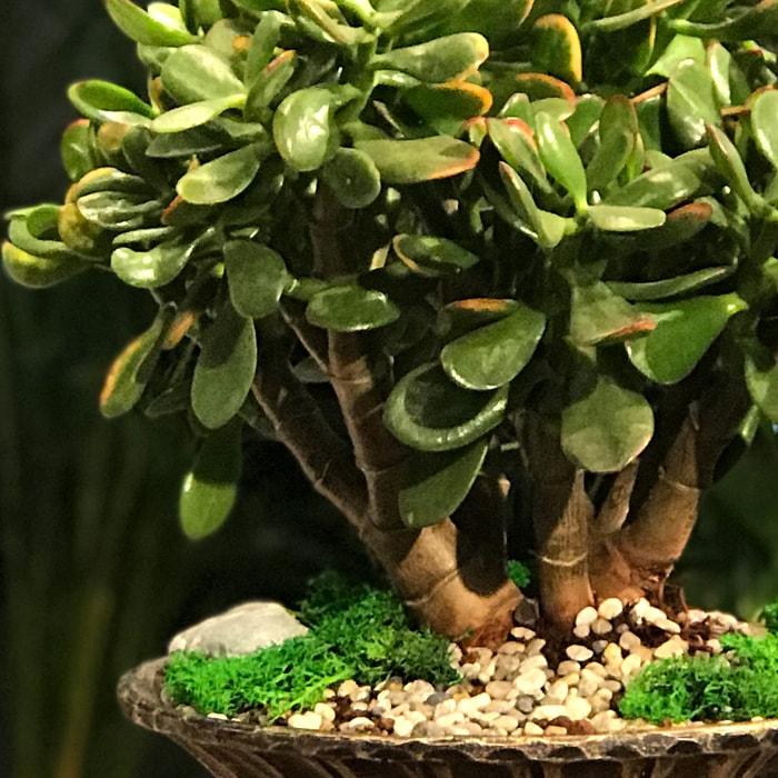 Crasula (Para Aðacý) Bonsai