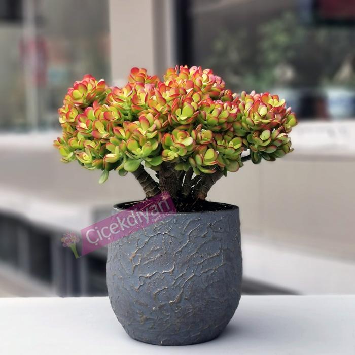 Crassula Ovata Crosby Compact