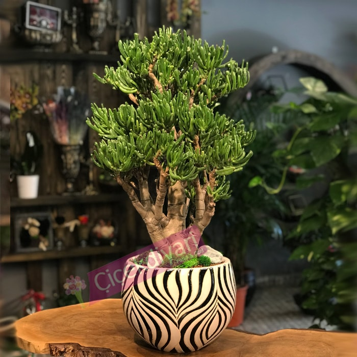 Crassula Horn Tree