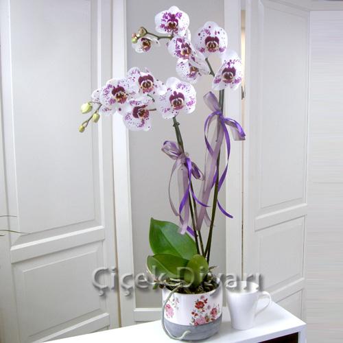 Benekli Beyaz Orkide