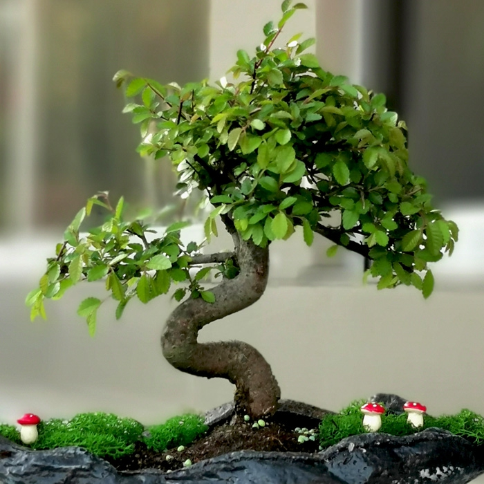 Dekoratif Kayada Bonsai