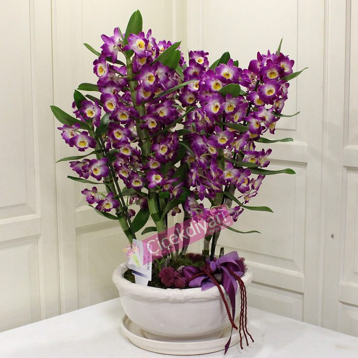 6lı Dendrobium Orkide