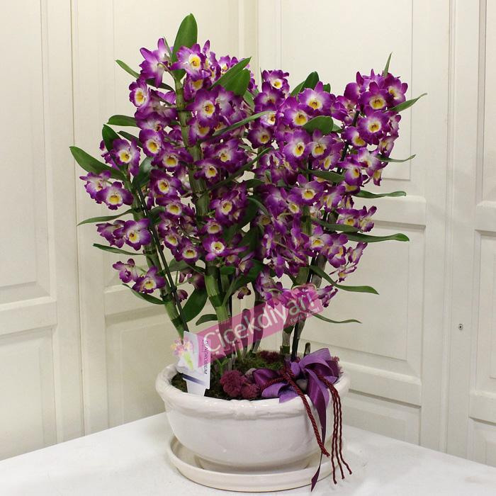6lý Dendrobium Orkide