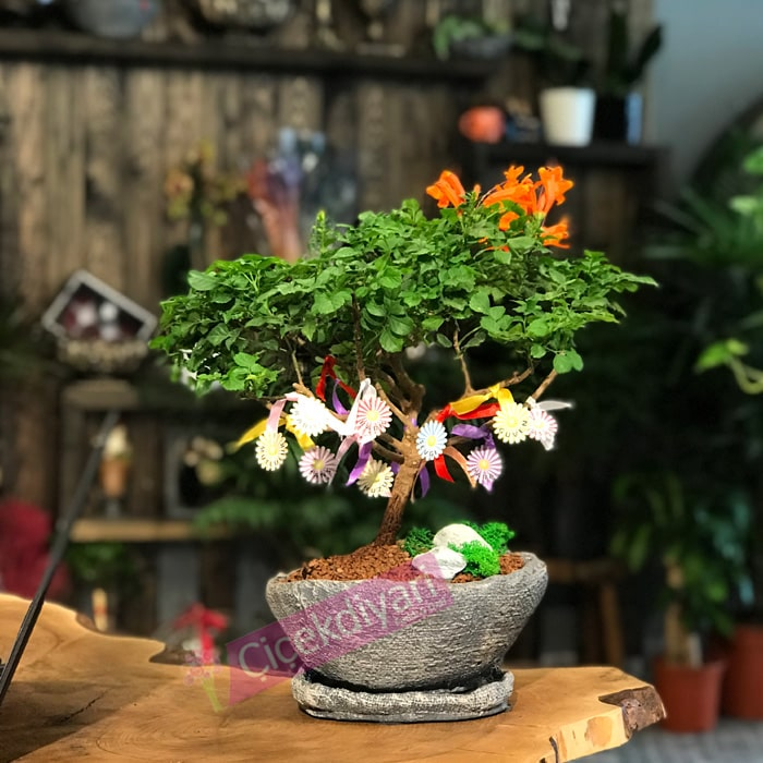 Dilek Aðacý Bonsai
