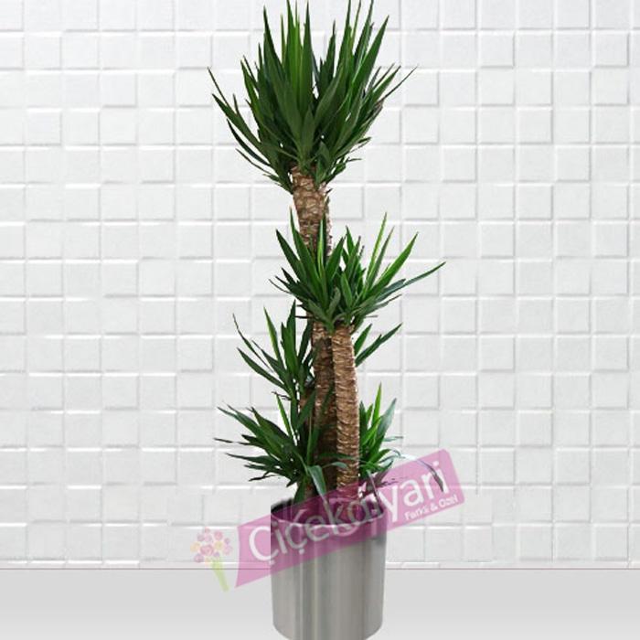 4 Köklü Yucca Bitkisi