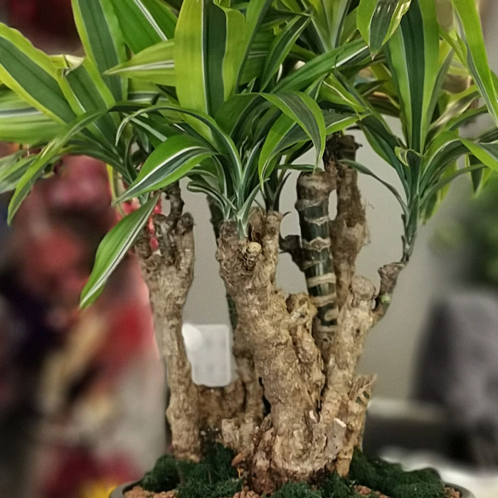 Dracaena Lemon Bonsai