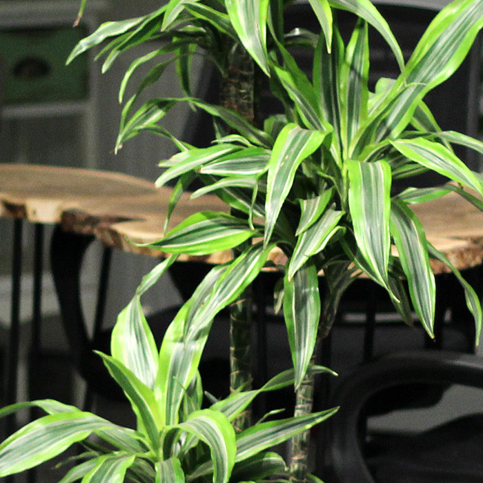 Dracena Lemon Lime