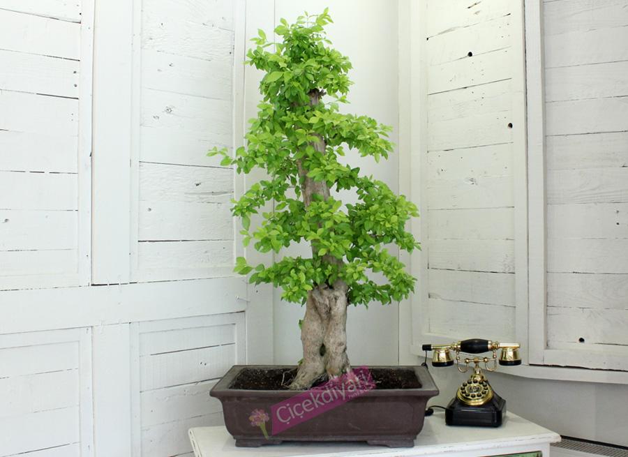Durante Repens Bonsai