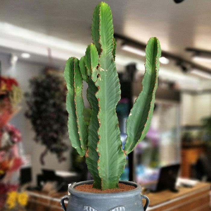 Euphorbia Ýngens - Cowboy Cactus