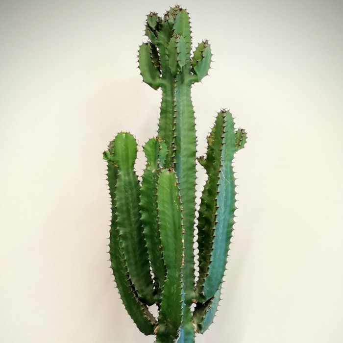 Euphorbia - Kovboy Kaktüs