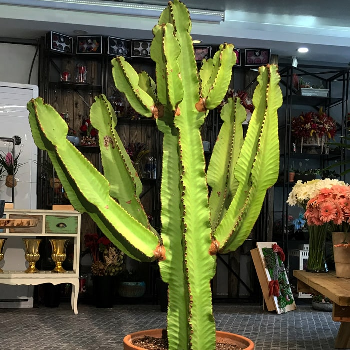 Euphorbia Ýngens Kaktüs