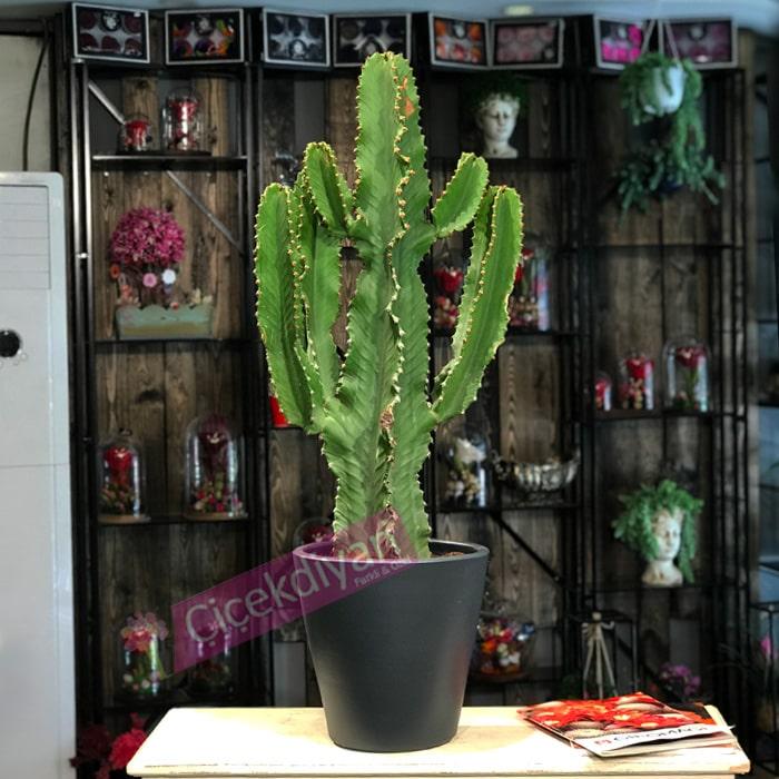 Euphorbia Ýngens (Cowboy Cactus)