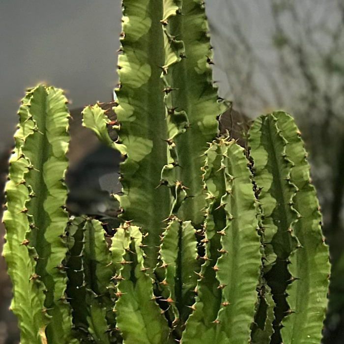 Eforbia Trigona