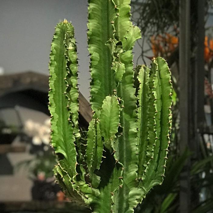 Eforbia Trigona Kaktüs