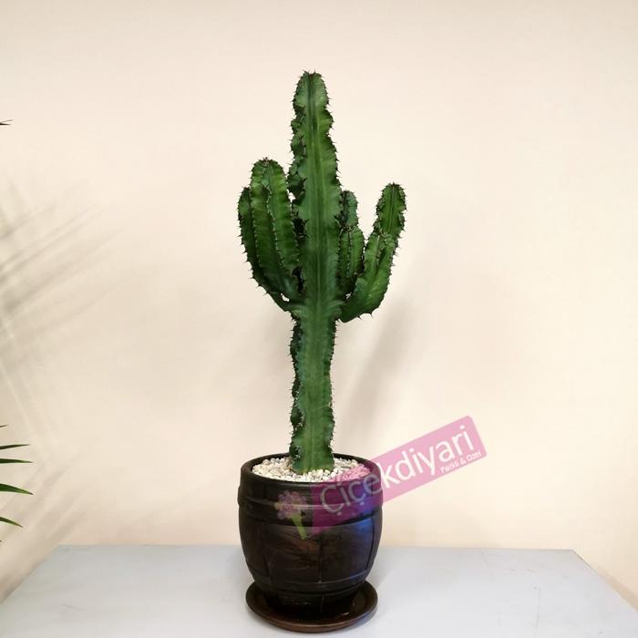 Euphorbia - Süt Aðacý - Kaktüs