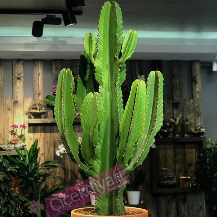 Euphorbia Ýngens