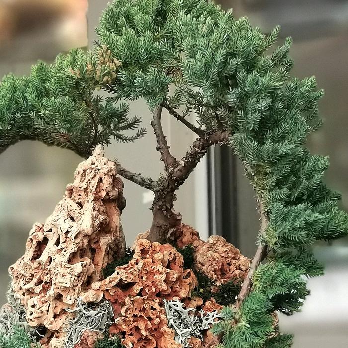 Juniperus Cascade