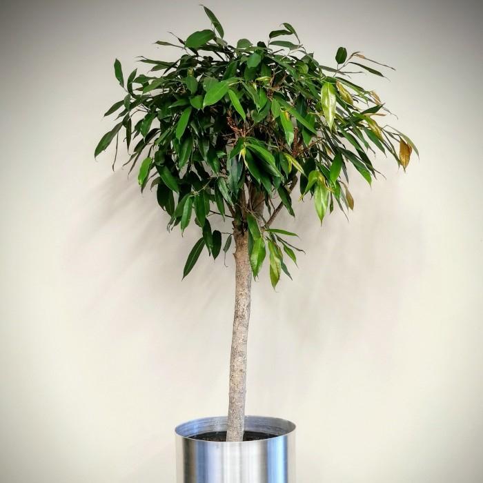 Ficus Alii-maclellandi