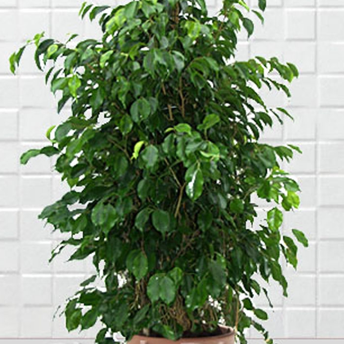 Ficus Benjamin -Büyük-