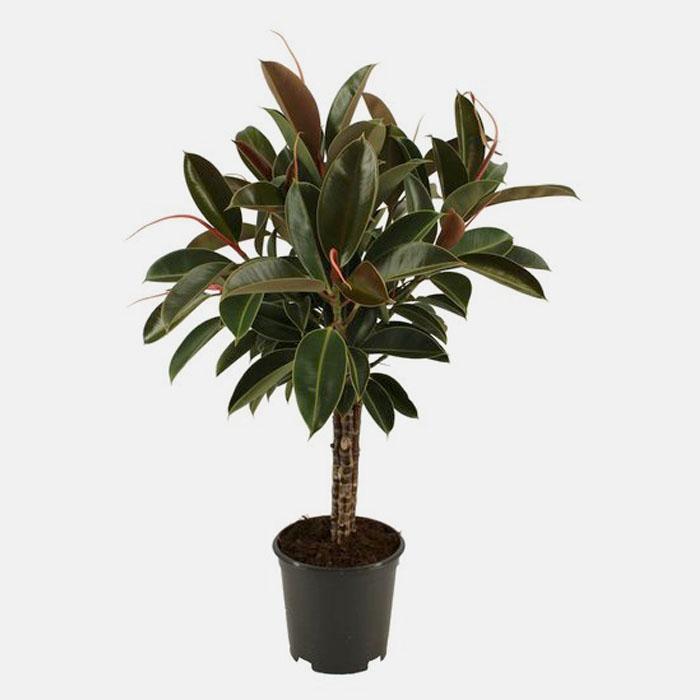 Ficus Elastica Melony
