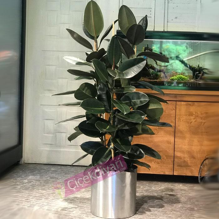 Ficus Elestica