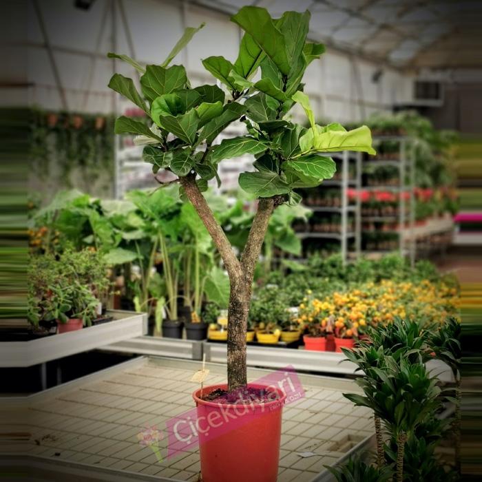 Ficus Lyrata - Keman Yapraðý