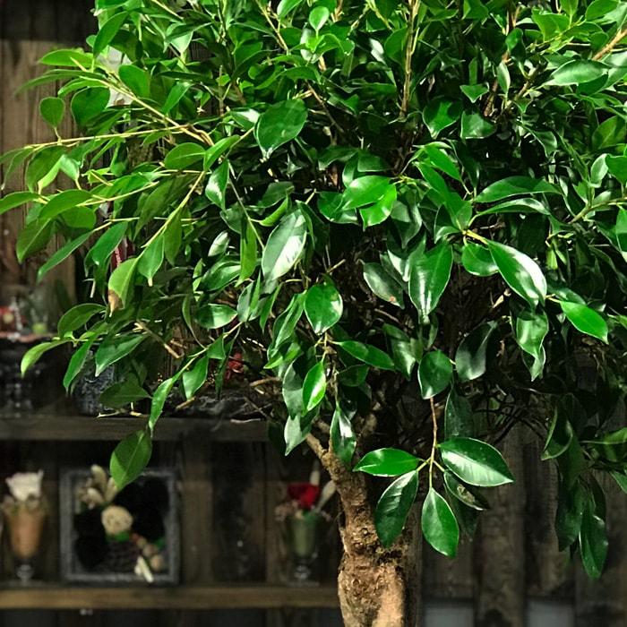 Ficus Nitida Retusa