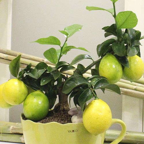 Fincanda Limon