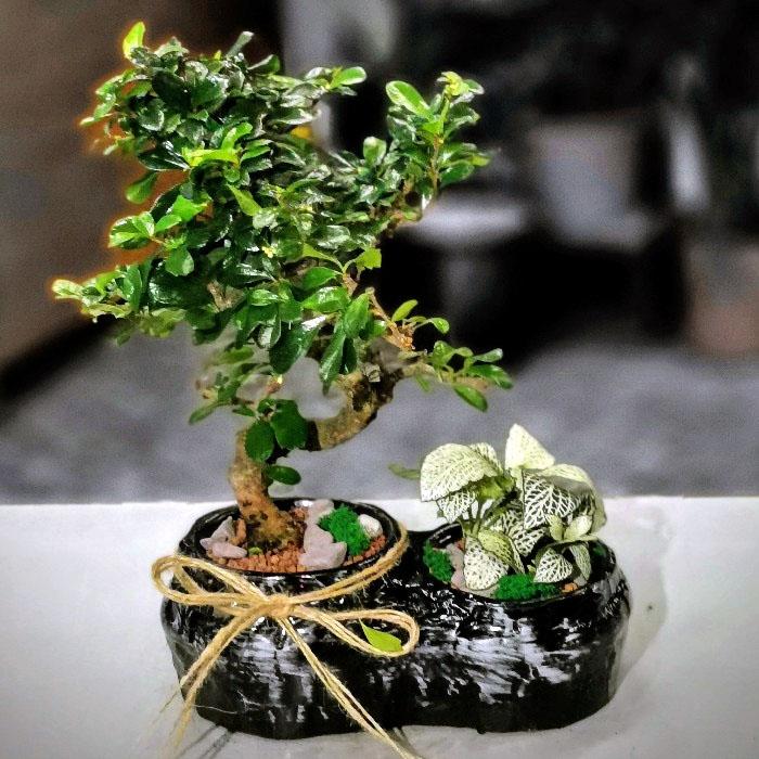 Fukien Bonsai