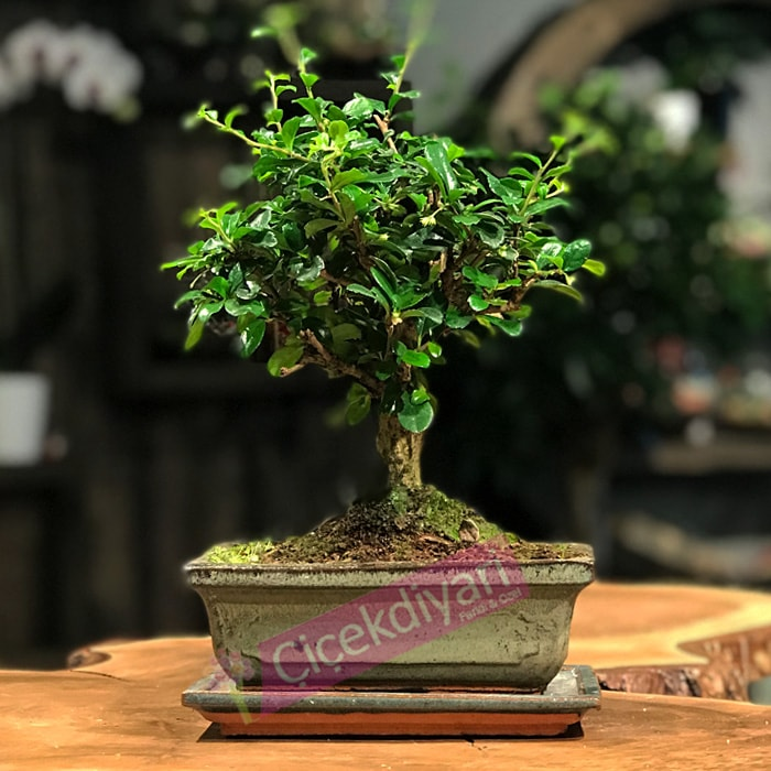 Fukien  Broom Bonsai