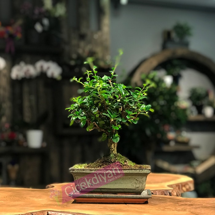Fukien  Broom Bonsai