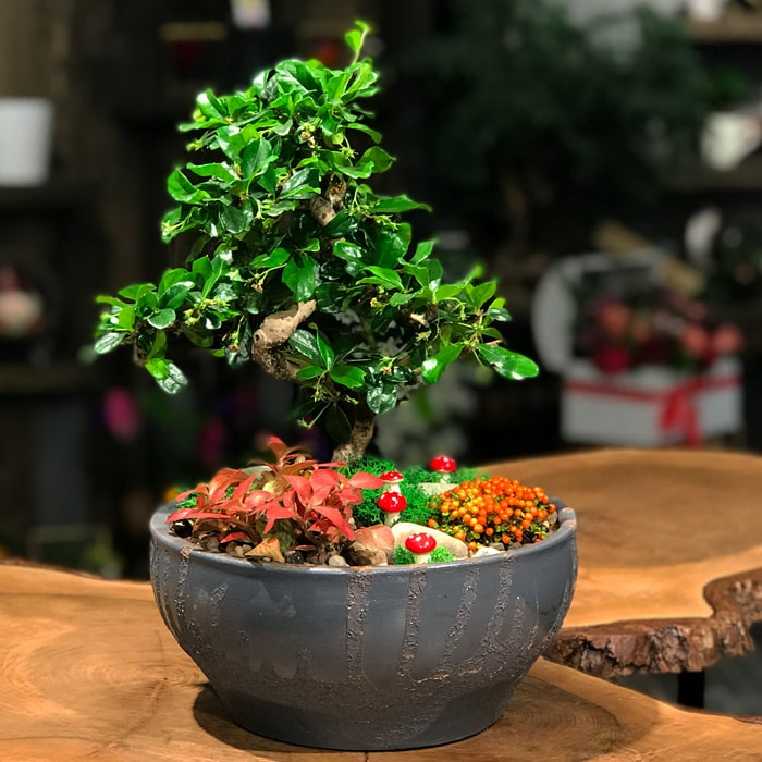 Fukien Bonsai Ve Nertera