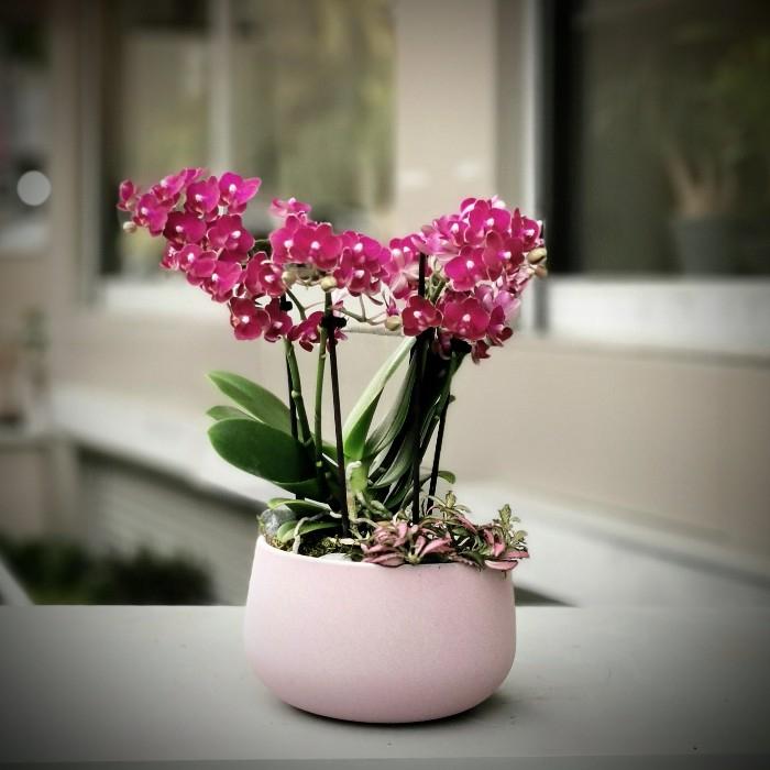 Midi Orkide ve Phitonia
