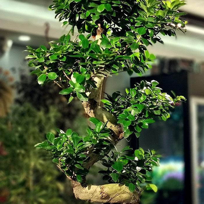 Büyük Ginseng Bonsai