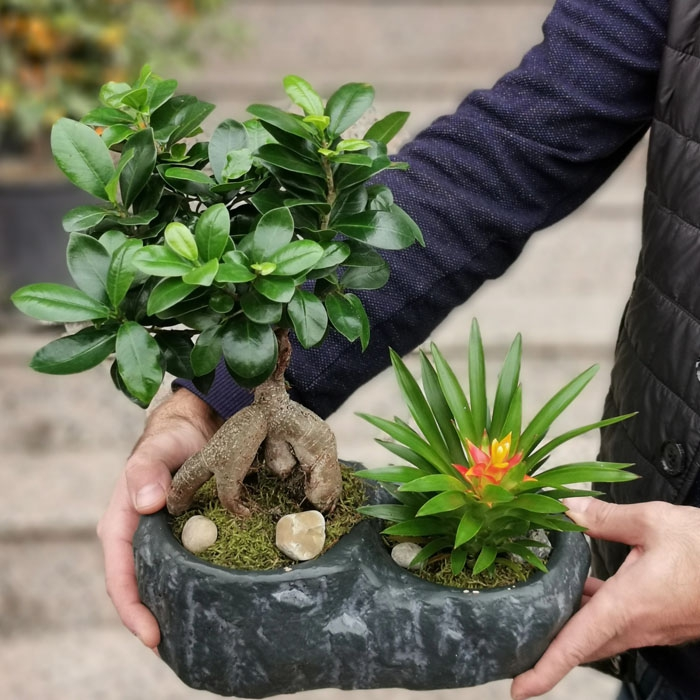 Bonsai ve Guzmania