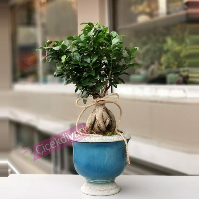 Ginseng Microcarpa Bonsai