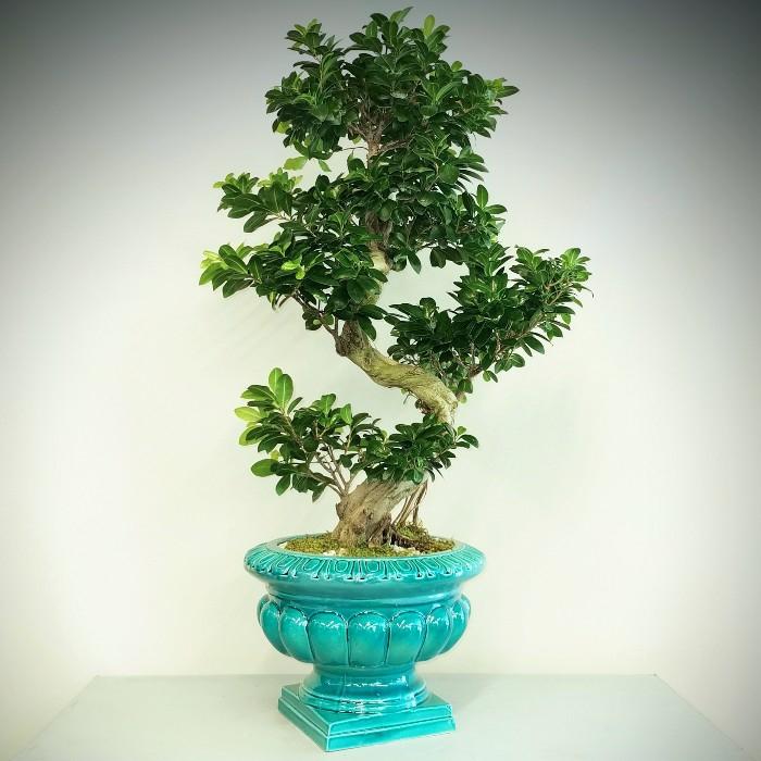 Antik Saksýda Ginseng