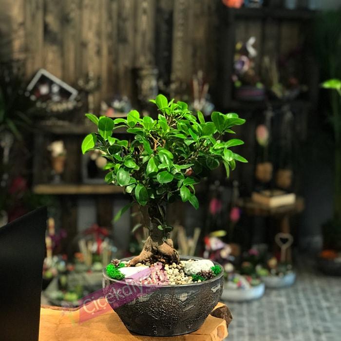 Küçük Ginseng Bonsai