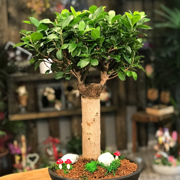 Ginseng Broom Bonsai