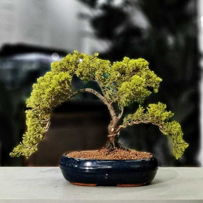 Juniperus Bonsai Cascade