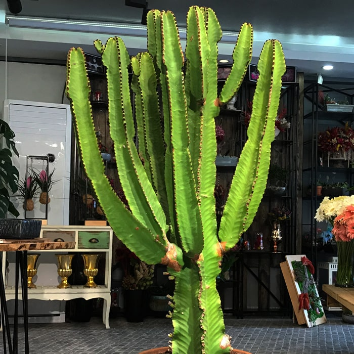 Euphorbia Ýngens - Candelabra Tree
