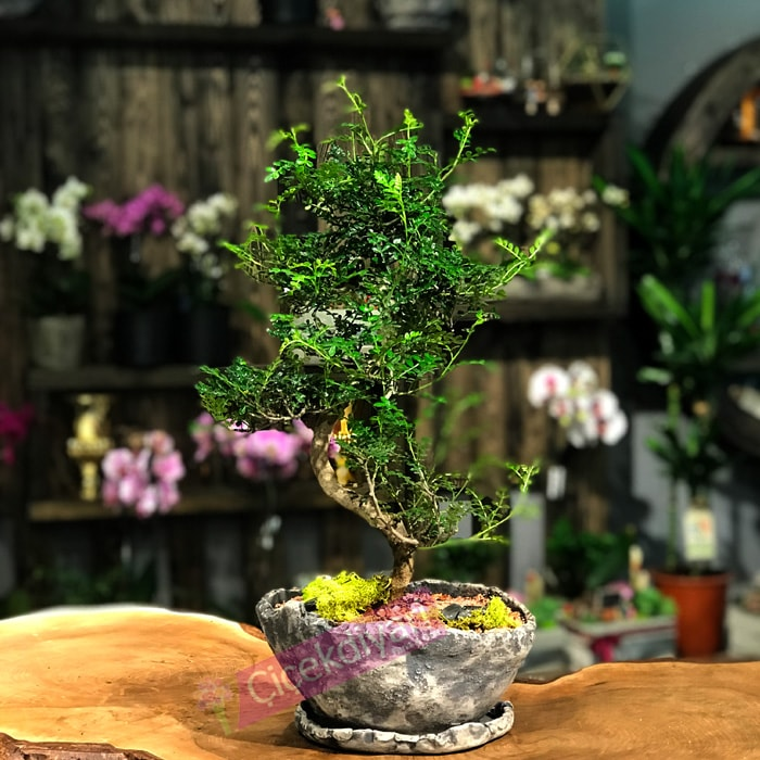 Japon Biberi Bonsai (Zanthoxylum Piperitum)