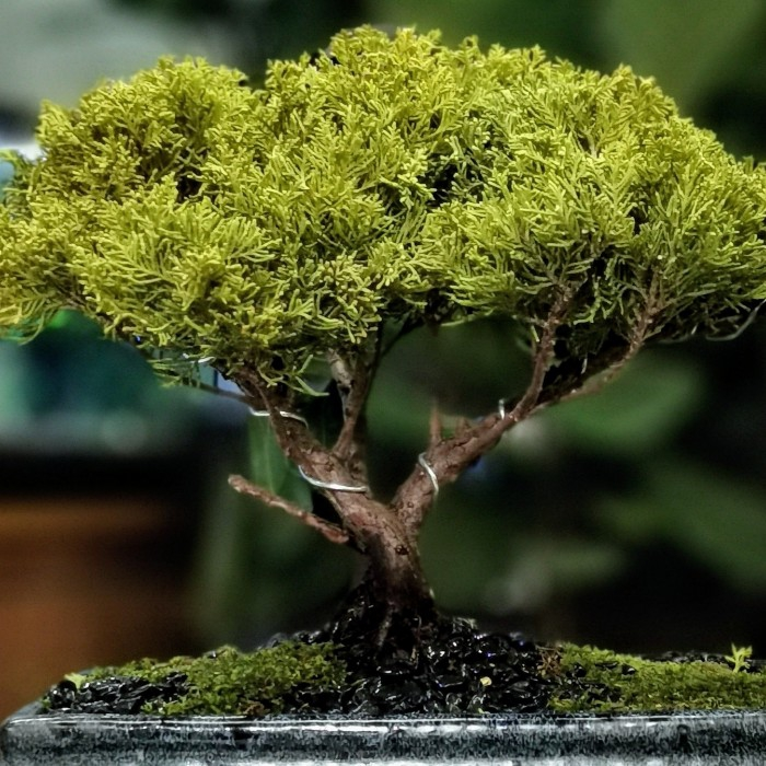 Juniperus Bonsai Umbrella