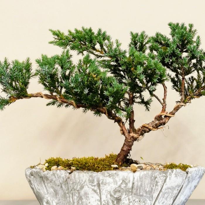 Green Juniperus Bonsai