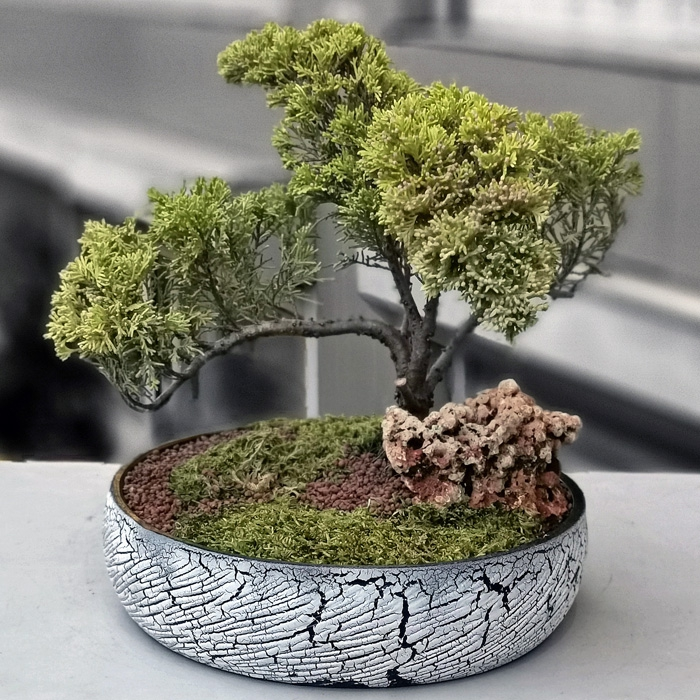 Kayalý Juniperus Bonsai