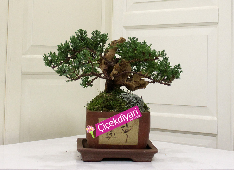 Kütüklü Juniperus Bonsai