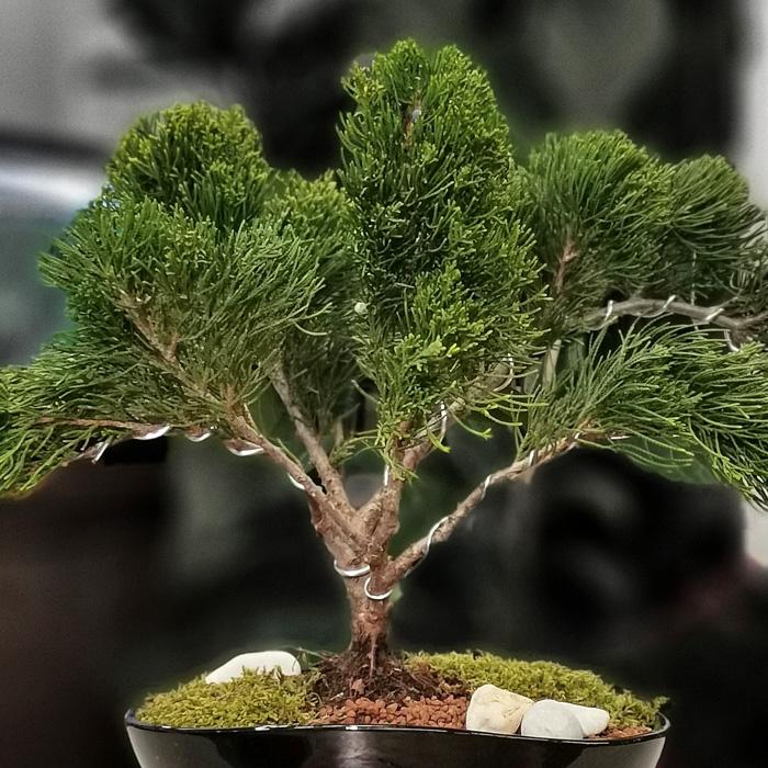 Juniperus Mint Julep Bonsai