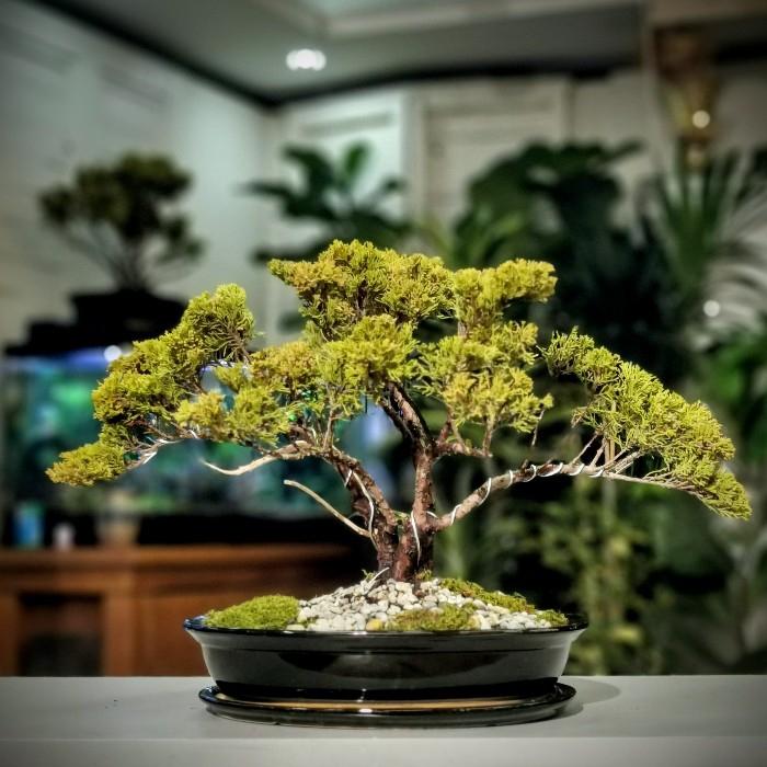 Golden Juniperus Bonsai