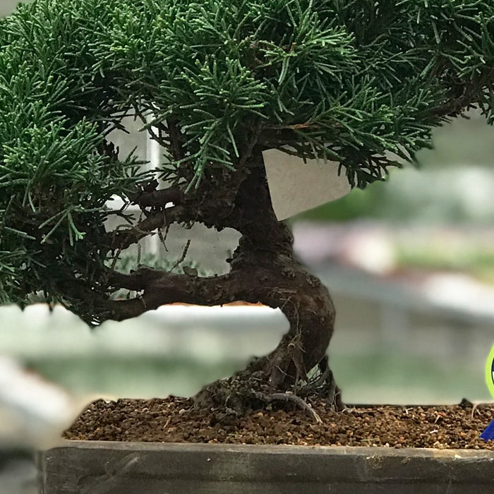 Juniperus Bonsai Kare Saksý