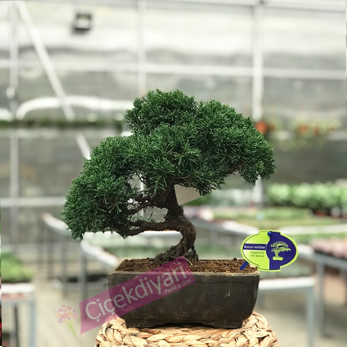 Juniperus Rigida Bonsai